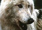 Sortie à Gueret: Les loups de Chabrières